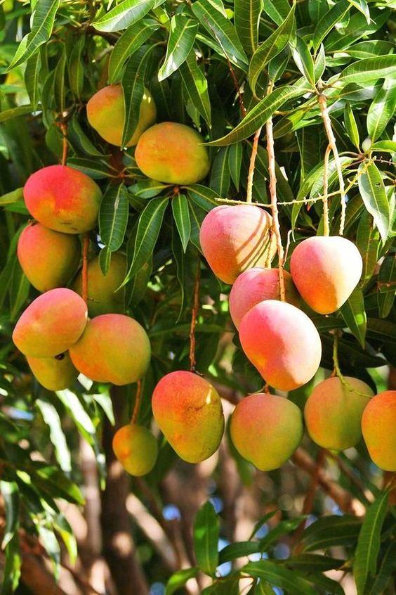 UP's Malihabad mango man develops 'Doctor Mango' variety