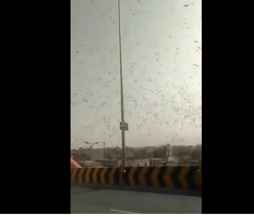 Locusts reach Jhansi, officials on alert